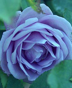 Róża pnąca odm. Indigolette - 50